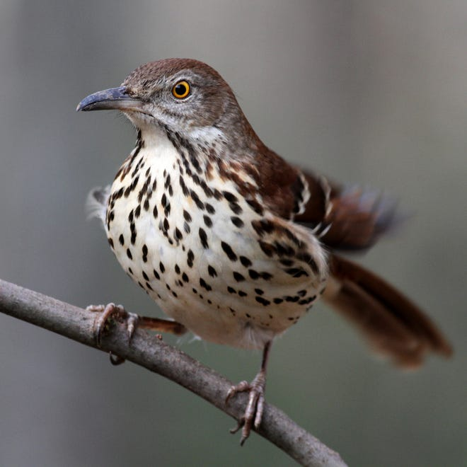 The brown thrasher is a mostly ground-dwelling bird that is highly vulnerable to climate change, according to a new Audubon report.