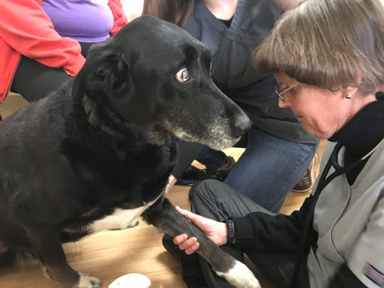 Dr. Tracy Thomas of Elder Pet Care prepares to draw blood from Bear, a 12-year-old Labrador mix, on Dec. 10, 2019.