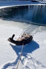 This Tuesday, Dec. 10, 2019 photo provided by the Sublette County Sheriff's Office shows a deer that deputies rescued from a frozen pond, after first lassoing it because the ice was too thin to approach, and pulled it to safety near Daniel, Wyo. According to a news release from the sheriff's office, deputies were dispatched about 12:45 p.m. Tuesday to a pond near the small ranching town of Daniel in southwest Wyoming where someone had reported a deer had fallen through the ice. Because the ice was too thin to walk on, deputies Justin Hays and Joshua Peterson lassoed the deer and pulled it to shore, the sheriff's office said. (Deputy Justin Hays/Sublette County Sheriff's Office via AP)