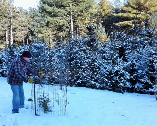 """Don Myers protects some of his evergreen seedlings with barriers when he can. """"It's like a salad to the deer,"""" he says. """"Arborvitae are delicious to them. You have to fence in anything you want to live."""""""