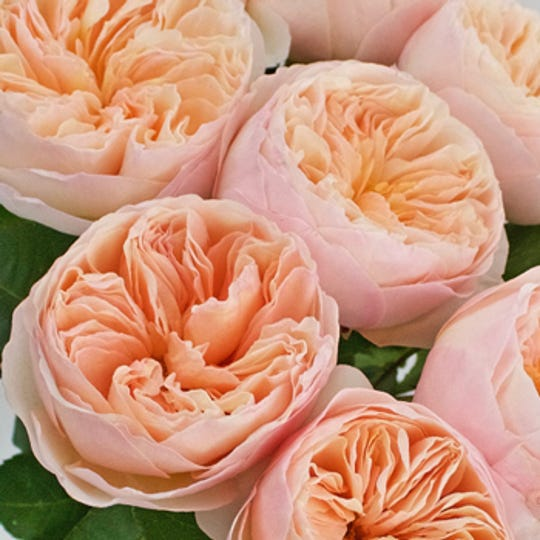 This David Austin rose is called a Peach Juliet Ausgameson.