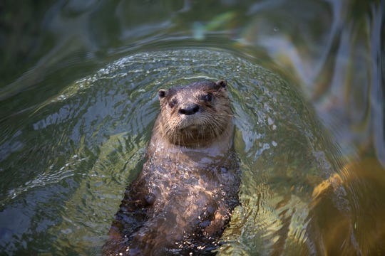 Zoo Knoxville's popular river otters will have an outdoor habitat in the park's transformative Amphibian and Reptile Conservation Campus.