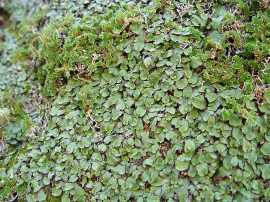 In moist, shady canyons, liverworts emerge after rains into very ancient colonies.