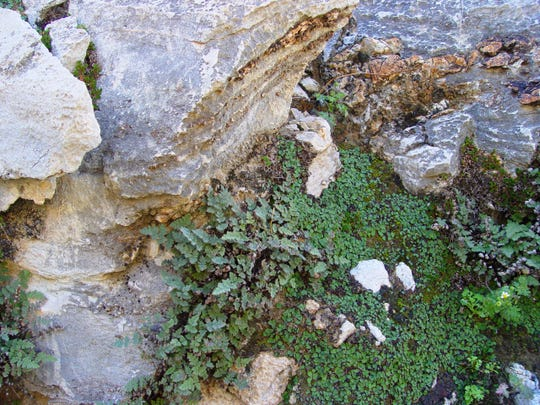Parry's lip fern is a real traveler within fissures where roots are protected from heat and drought.