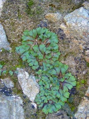 This is a smaller, newer liverwort colonizing a new location and starting to spread out.