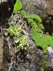 Where there is a bit more light, the traditional mosses may appear if moisture replenishment is sustained for a long time.