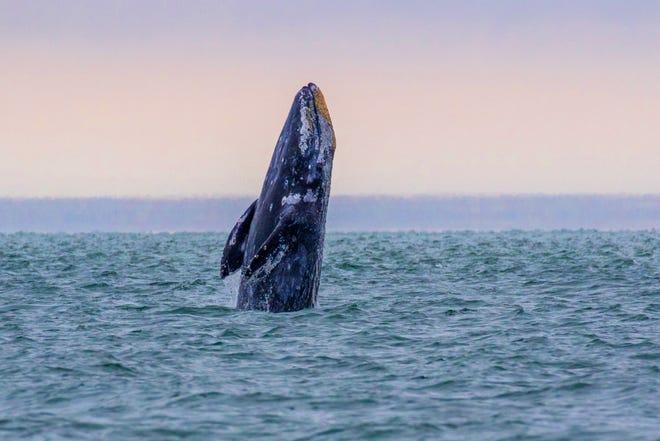 A gray whale breaches off the Oregon Coast near Depoe Bay.