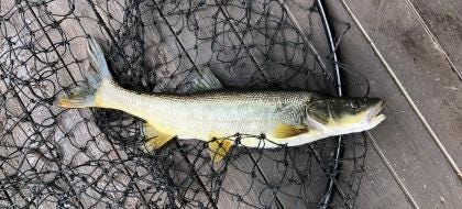 Northern pikeminnow can be caught for cash from the Columbia and Snake rivers.