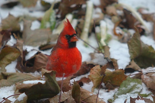 A colorful cardinal brightens up a dull winter day.