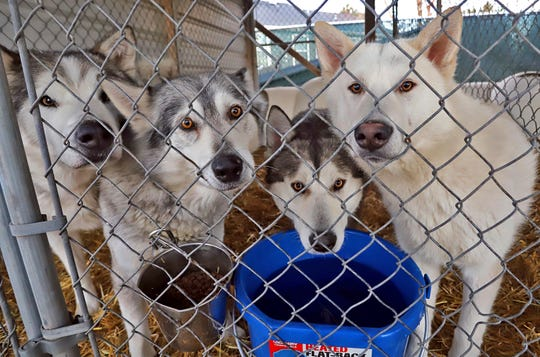 This Tuesday, Dec. 10, 2019 photo, shows four of 39 huskies, recently rescued from a property northeast of Hamilton, Mont., checking out people as they walk by their kennel at the Bitter Root Humane Association in Hamilton. Most of the dogs have found homes, although 13 are too wild to be adopted.