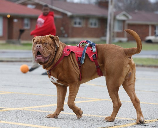 Students play with Ari at Slaughter Elementary.  Ari is a three year old Dogue de Bordeaux (French Mastiff) and a service dog for teacher Amber Pendleton and is a fixture in her classroom at Slaughter Elementary where his also serves as a therapy dog for the school.December 1, 2019