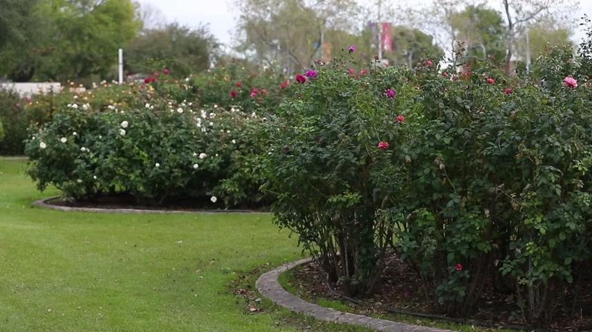 Rose Garden at Mesa Community College is a hidden gem: Video