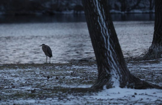 A Great Blue Heron watches  Irondequoit Bay in Webster.