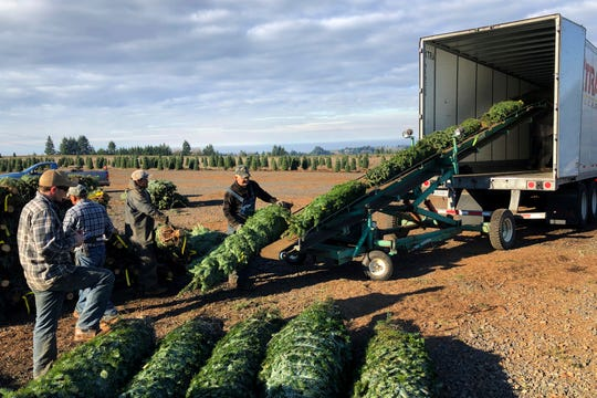 Workers, most of them from Mexio, load Christmas trees. New legislation could make it easier for farmers to hire immigrant labor