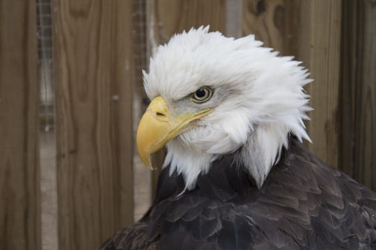 The full-grown female eagle suffered pellet wounds in a leg and a broken wing from the shotgun blast.