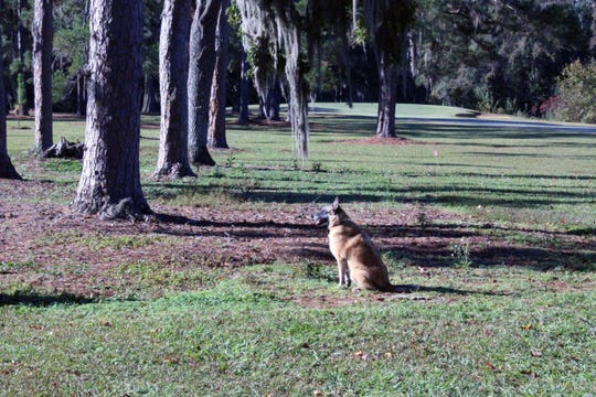 A cadaver dog alerts to the possibility of human remains below the ground near the 7th hole of the Capital City Country Club.