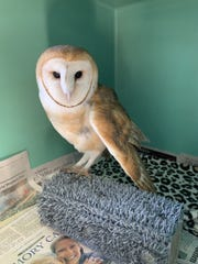"This barn owl at the Ojai Raptor Center was rescued from Highway 101 in Santa Barbara in ""very critical"" condition. But the bird is expected to make a full recovery."