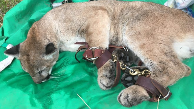 After showing up in a Simi Valley backyard early Dec. 12, 2019, this mountain lion was tranquilized, relocated and fitted with a tracking collar. He is now known as P-79.