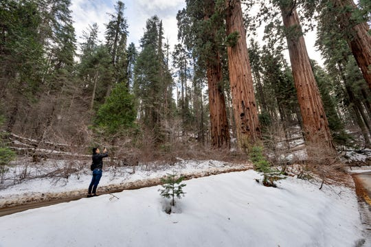 A visitor pauses to photograph the Four Guardsmen Sequoia trees on General's Highway in Sequoia National Park.