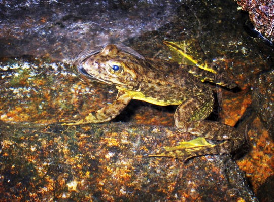 This Aug. 10, 2013 file photo shows a rare mountain yellow-legged frog in an alpine lake in Kings Canyon National Park, in California's Sierra Nevada.