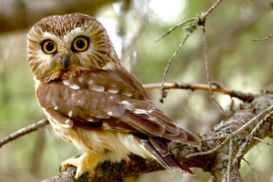 The saw-whet owl is a climate-sensitive species that needs the Southern Appalachian spruce-Fraser fir forest habitat to survive.