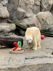 Cincinnati Zoo's male polar bear Little One celebrates 30th birthday