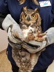 A great horned owl tangled up in a backyard soccer net was saved earlier this week by a Good Samaritan.