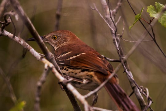 A brown thrasher forages for food Friday, Dec. 13, 2019, at the Prairie Pines Preserve in North Fort Myers. Members of environmental groups and others including ranchers held a press conference at the site to urge legislators to fully fund Florida Forever.