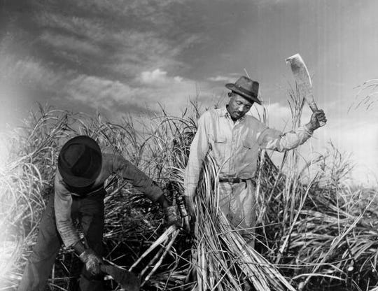 "Jamaican laborers in the field cutting cane by machete in Clewiston, Florida. Accompanying note: ""Field harvest, cutting: Cane is cut by hand with a machete by Jamaican laborer and placed in piles to be picked up by field derrick."