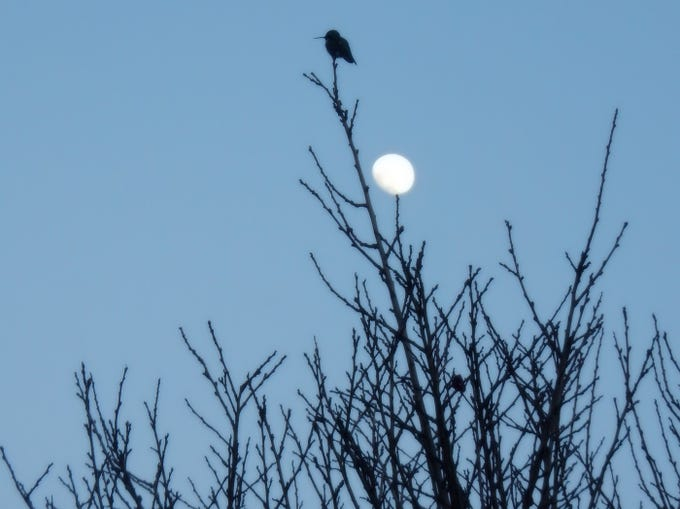 Hummingbird perched on the highest branch of our plum tree.  Just below is a nearly full moon seemingly perched atop a branch.