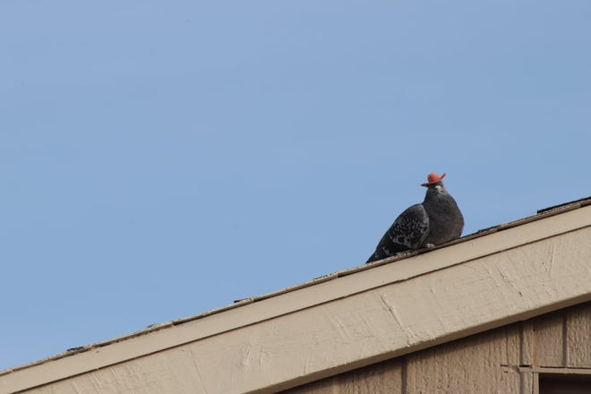 Coolamity Jane, one of the famous cowboy pigeons of Las Vegas is one step closer to capture.
