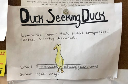 An advertisement for a single duck seeking a partner is seen on a bulletin board at the Blue Hill Co-op, Dec. 12, 2019, in Blue Hill, Maine.