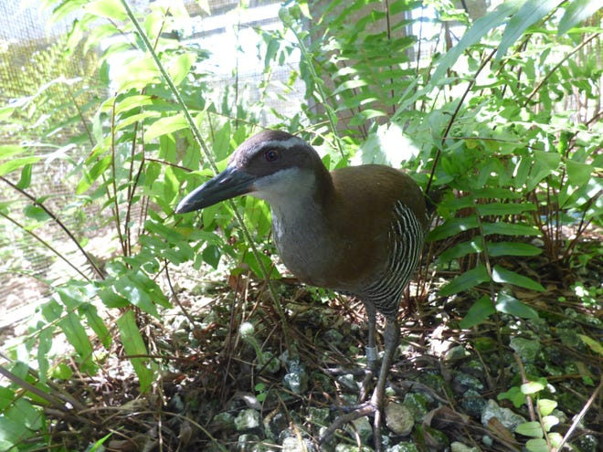 The Guam rail, or ko'ko', is no longer extinct in the wild, according to theInternational Union for Conservation of Nature's Red List of Threatened Species.