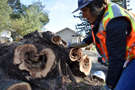Biologist Jessica Gonzalez marks a tree stump where a San Francisco dusky-footed woodrat was found after workers cut down the tree as part of fire prevention efforts along a crowded highway corridor on Nov. 20, 2019, near Redwood Estates.