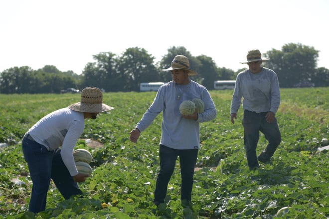 A Crew of migrant farm workers picks cantaloupe on Thursday, July 4, 2019 north of Kennett, Missouri. The crew arrived in Missouri's Bootheel from Georgia about nine days previously, but had not worked the last six days because the crop was not ripe yet.