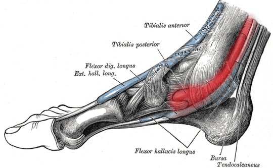 A photo of the foot and where the tibialis posterior tendon is located, which is in red. This is where Dwayne suffered the injury in his foot.