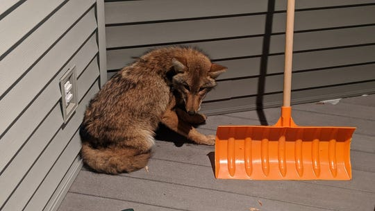 Kaukauna police are warning residents about a coyote that's been spotted in a local neighborhood.