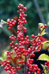 Winterberries may be bright and red but are not the first choice of wildlife for food.