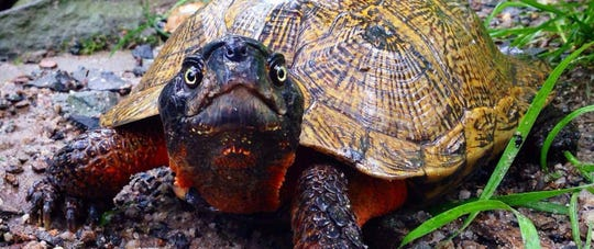 An Estero man was sentenced to more than a year in prison Monday for capturing and bringing wood turtles to Florida for commercial profit.