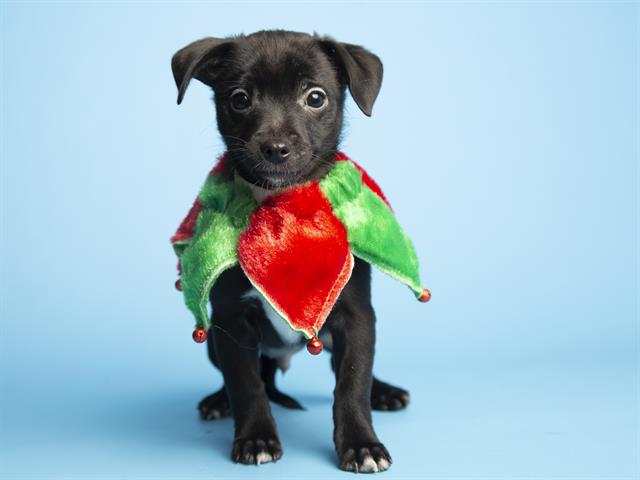 Miser is a 9-week-old male puppy available for adoption from the Petsmart in Old Town Scottsdale at 4380 N Miller Rd, Scottsdale. For an updated list of pets available for adoption through the Arizona Humane Society, check their adoptions page at azhumane.org/adopt.