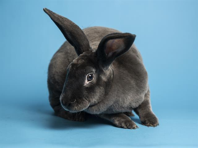 Apple Butter is a 3-year-old female rabbit located at Petsmart Mesa. For an updated list of pets available for adoption through the Arizona Humane Society, check their adoptions page at azhumane.org/adopt.
