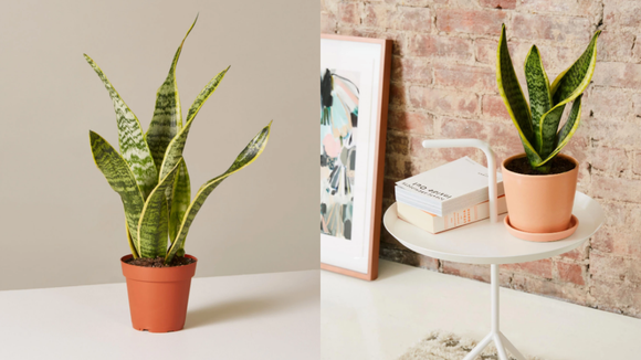 Best gifts under $20: Snake Plant Laurentii