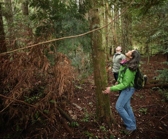 Bainbridge Island Land Trust's Jane Stone and Cullen Brady scope out a the woodpecker holes in a large tree while walking in the Springbrook Creek Preserve on Bainbridge Island Monday, Dec. 16, 2019.
