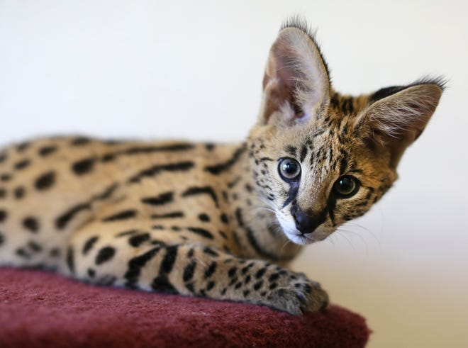 A file photo of a serval, an exotic cat from Africa.