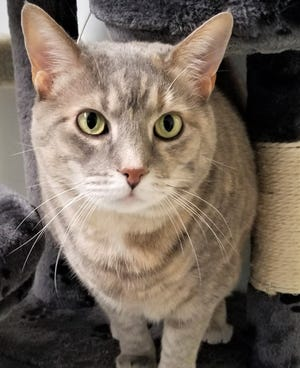 Jenna is a female cat waiting for a home at the Humane Society of Ottawa County.
