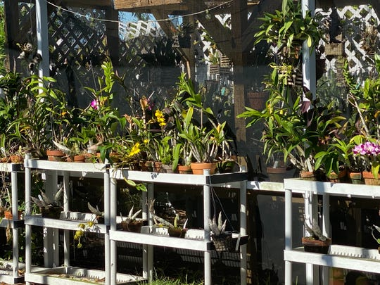 "John Hampton transplanted himself and about 50 orchids from Connecticut to Cape Coral in the spring of 2014, ""specifically to be able to grow orchids outside in my backyard."" He now has more than 1,000."