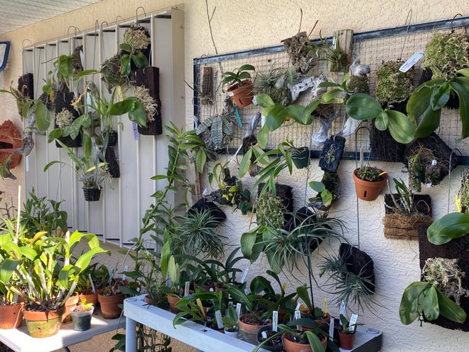 Because of air conditioning, don't grow orchids in the house - not because of the cool air but the lack of humidity.