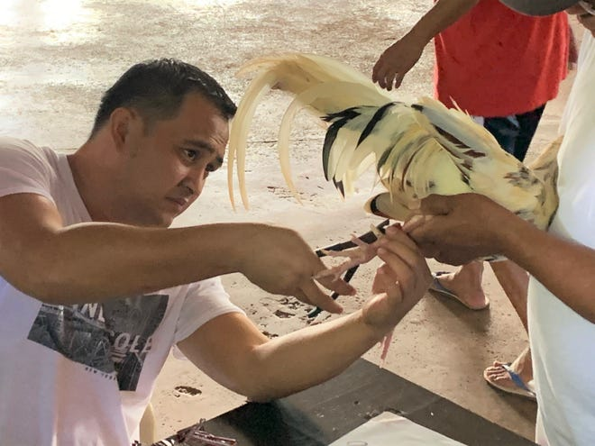 Ponz Manalo secures a tag to the leg of a rooster after it was weighed in advance of a three-cock derby in this Dec. 14, 2019, file photo, at the Dededo Game Club.