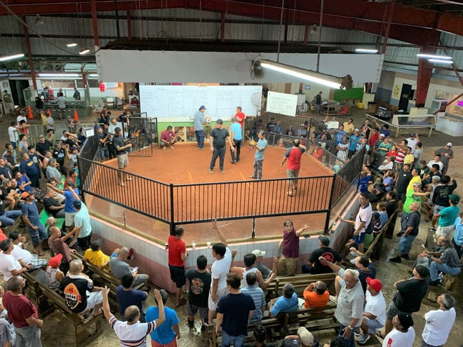 Federal courtroom rejects Puerto Rico problem to cockfighting ban