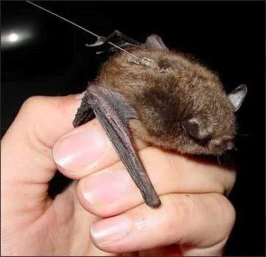 Indiana bats, which come in large numbers to Wilson County, are an endangered species.